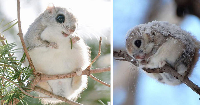 ♡-・゚cute-animals(9f350e57)siberian-japanese-dwarf-flying-squirrel-fb__700.c.png