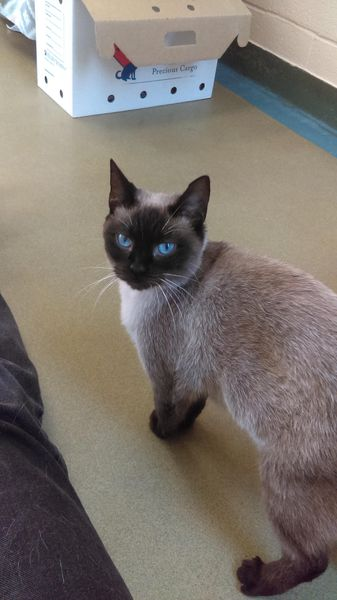 Siamese cat waiting to be adopted