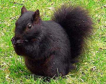 black-squirrel-bar1.jpg